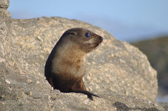Free Young Fur Seal Royalty Free Stock Photography - 39102397