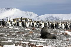 A young fur seal poses in front of a colony of king penguins. On Salisbury Plain on South Georgia in the Antarctic royalty free stock image
