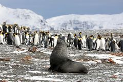 A young fur seal poses in front of a colony of king penguins. On Salisbury Plain on South Georgia in the Antarctic stock photos