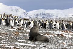 A young fur seal poses in front of a colony of king penguins. On Salisbury Plain on South Georgia in Antarctica royalty free stock photo