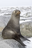 Young fur seal resting on a rocky Stock Images