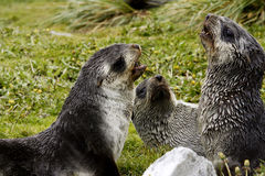 Young Fur Seals Royalty Free Stock Photo