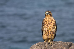 Young Galapagos Hawk Stock Photography