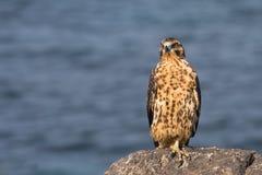 Young Galapagos Hawk. A young galapagos hawk on a rock Stock Photography
