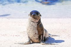 Young Galapagos sea lion at the beach on Espanola Island, Galapagos National park, Ecuador. These sea lions exclusively breed in the Galapagos royalty free stock photos