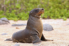 Young Galapagos sea lion on the beach on North Seymour Island, G. Young Galapagos sea lion on the beach (Zalophus wollebaeki) on North Seymour Island, Galapagos Stock Image