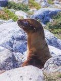 Young galapagos sea lion galapagos islands ecuador stock images