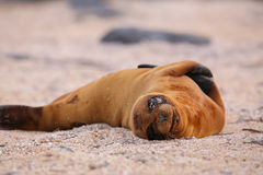 Young Galapagos sea lion lying on the beach on North Seymour Isl Stock Photo