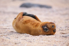 Young Galapagos sea lion lying on the beach on North Seymour Isl Stock Photography