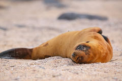 Young Galapagos sea lion lying on the beach on North Seymour Isl Royalty Free Stock Photo
