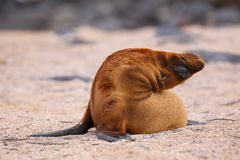 Young Galapagos sea lion on North Seymour Island, Galapagos Nati. Young Galapagos sea lion (Zalophus wollebaeki) on North Seymour Island, Galapagos National Park Royalty Free Stock Photos