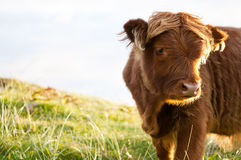 Young gallow cow Stock Photos