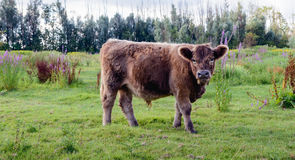 Young Galloway bull peacefully watching the photographer. This brown bull grazes with a few others a Dutch nature reserve. It's summer and in the background Royalty Free Stock Photo