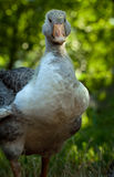 Young gander portrait Royalty Free Stock Photo
