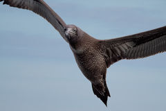 Young gannet flying above the sea Stock Photography