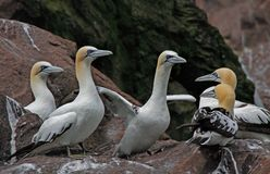 Young Gannets gather together Stock Photography