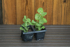 Young garden pea plants in plant pots with shed background. Royalty Free Stock Image