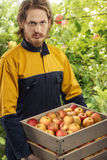 Young gardener with apples. Young gardener carrying wooden box with fresh apples. Apple trees garden background Stock Photo