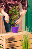 Young gardener in checkered shirt cultivated plant in pot Royalty Free Stock Images