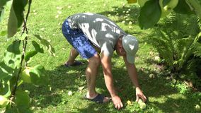 Young gardener man in shorts gather pick ripe apple fruits under tree to wicker basket. 4K. Young gardener man in shorts gather pick ripe apple fruits under tree stock video