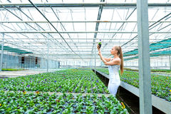 Young gardener working in a large greenhouse nursery. A young adult woman working in a greenhouse nursery, planting some flowers Royalty Free Stock Images