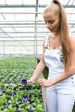 Young gardener working in a large greenhouse nursery. A young adult woman working in a greenhouse nursery, planting some flowersr Stock Photo