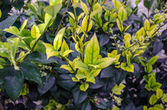 Young Gardenia Plant. A group of budding Gardenia plants in a garden Royalty Free Stock Images