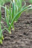 Young Garlic Royalty Free Stock Image