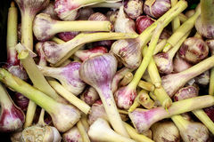 Young garlic. A lot of young garlic in one place Royalty Free Stock Image