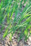 Young garlic plants Royalty Free Stock Photo