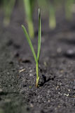 Young of garlic sprout Stock Image