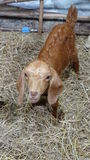 Young gaunt goat  in cage. Stock Image