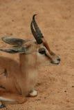 Young Gazelle. A young captive dorcas gazelle, Gazella dorcas, at the Barcelona Zoo Royalty Free Stock Photos