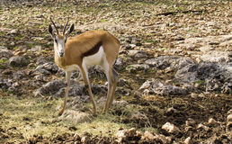 Young Gazelle Fawn in rocky field. Young fawn near hay in rocky field looking at camera Royalty Free Stock Photos