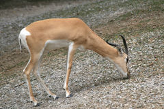 A young gazelle grazing for food Stock Images