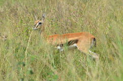 young gazelle impala  frightened hides from its predator Stock Photo