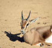 Young gazelle resting stock image