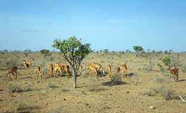 Young gazelles at lunch Royalty Free Stock Images