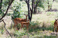 Young gazelles in nursery Stock Images