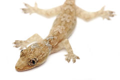 Young Gecko Stock Image