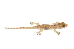 Young Gecko Royalty Free Stock Photo
