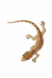 Young Gecko Stock Photo