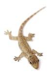 Young Gecko Stock Photos
