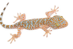 Young Gecko on the wall Stock Photos
