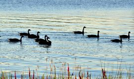 Young geese in the river royalty free stock images