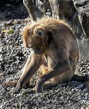 Young Gelada baboon 4 Royalty Free Stock Images