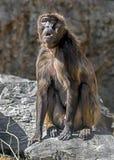 Young Gelada baboon male 1 Stock Photos