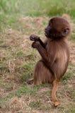 A young Gelada baboon. Photograph of a young Gelada baboon stock image