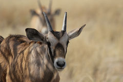 Young Gemsbok Stock Image
