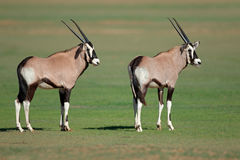Young gemsbok antelopes Royalty Free Stock Images
